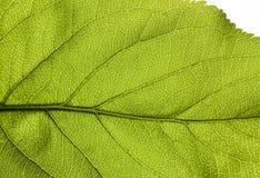 Structuur van een groen blad Stock Afbeeldingen
