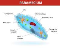 Structuur van een paramecium Royalty-vrije Stock Foto's