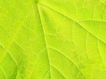 Structuur van groen esdoornblad. Royalty-vrije Stock Foto's