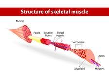 Structuur van skeletachtige spier Stock Afbeeldingen