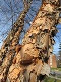 Strugać Korowatych i Nagich drzewa Tuż przed zimą zdjęcie royalty free