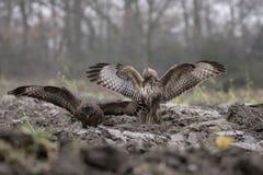 Struggle of buzzards. Buzzards struggle wings flight fight talons royalty free stock images