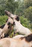 Struggle for dominance 3. A pair of Konik Horses  fighting Stock Photos