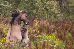 Struggle for dominance 1. Two Konik Hosres challengging eachother Royalty Free Stock Photo
