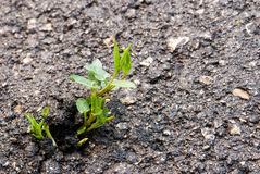 Struggle for existence. Green grass fighting its way through the asphalt royalty free stock photography