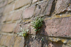 Struggle for survival. Of a plant on a wall Stock Photography