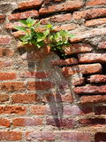Struggle for survival of a plant on a wall. Stock Image