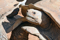Struggle between the two turtles Stock Photos