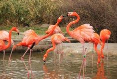 Struggling flamingoes Stock Photos