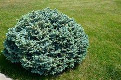 Struik blauwe spar op groen gazon op een zonnige dag stock foto