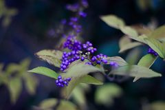 Struik Callicarpa Lamiaceae met purpere bessen royalty-vrije stock fotografie