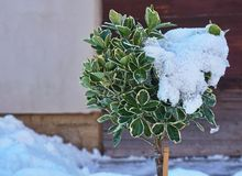 Struik door sneeuw met een muur op de achtergrond gedeeltelijk wordt behandeld die stock foto