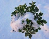 Struik door sneeuw met witte achtergrond gedeeltelijk wordt behandeld die stock afbeelding
