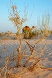 Struik en kameel Royalty-vrije Stock Afbeelding