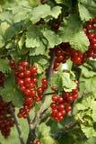 Struik met bessen van een rode aalbes Stock Foto