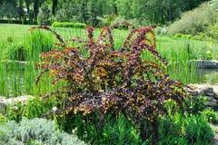 Struik met de bladeren van Bourgondië en gele bloemen. Stock Afbeeldingen
