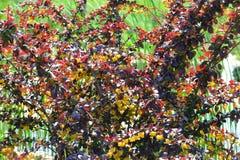 Struik met de bladeren van Bourgondië en gele bloemen Stock Afbeelding