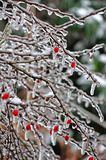 Struik met rode bessen in de winter -/Berberis/ stock afbeeldingen