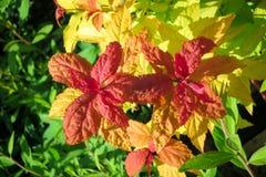 Struik met rode bladeren op de bovenkanten van takken royalty-vrije stock fotografie