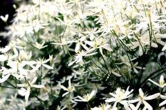 Struik met witte bloemen Stock Foto