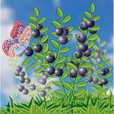 Struik van blauwe bosbes en vlinder. Royalty-vrije Stock Foto's