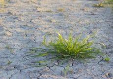 Struik van groen gras en de droge aarde. Stock Foto