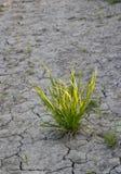 Struik van groen gras en de droge aarde. Royalty-vrije Stock Fotografie