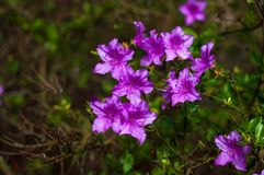 Struik van purpere bloeiende rododendrons Royalty-vrije Stock Foto
