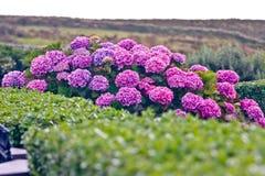 Struik van purpere hydrangea hortensiabloemen royalty-vrije stock foto