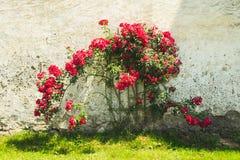 Struik van rode rozen stock foto