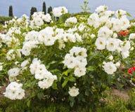 Struik van witte rozen royalty-vrije stock afbeelding
