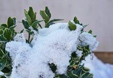 Struikbladeren door sneeuw met een muur op de achtergrond gedeeltelijk worden behandeld die stock fotografie