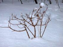 Struiken in de sneeuw royalty-vrije stock fotografie