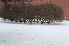 Struiken in de winter royalty-vrije stock fotografie
