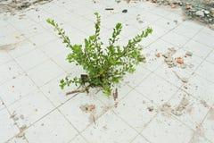Struiken die op ceramische vloer groeien Royalty-vrije Stock Fotografie
