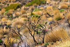 Struiken en installaties die op vulkaan in het Nationale Park van Teide, Tenerife groeien, Canarische Eilanden, Spanje - Beeld royalty-vrije stock foto