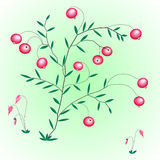 Struiken met bessen en bloemen van een Amerikaanse veenbes. Stock Fotografie