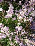 Struiken met bloemen in de lente Stock Afbeelding