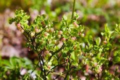 Struiken met Groene onrijpe bosbes in de vroege lente royalty-vrije stock afbeeldingen