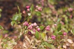 Struiken met langzaam verdwijnende rozen royalty-vrije stock fotografie