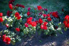 Struiken met rode rozen stock afbeeldingen