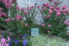 Struiken met roze, blauwe en witte bloemen in een botanische tuin Royalty-vrije Stock Foto's