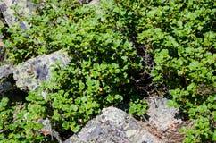 Struiken onder de rotsen Stock Fotografie