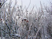 Struiken van dogrose met bessen in de sneeuw stock foto's