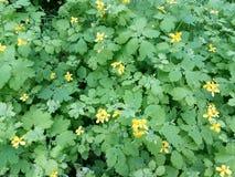 Struiken van een tot bloei komende close-up van de lentecelandine Stock Foto's