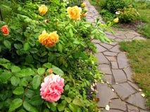Struiken van gele en roze rozen met dalingen van water na regen n Royalty-vrije Stock Afbeeldingen