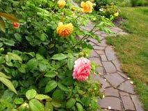 Struiken van gele en roze rozen met dalingen van water na regen n Royalty-vrije Stock Foto's