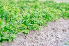 Struiken van groene aardappels Stock Afbeelding