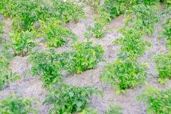 Struiken van groene aardappels Royalty-vrije Stock Fotografie