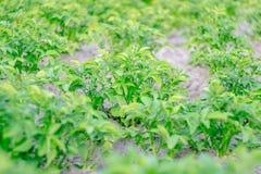 Struiken van groene aardappels Royalty-vrije Stock Afbeelding